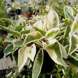 Hoya carnosa cv. Suzie (krinkle 8 variegata)