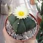Astrophytum myriostigma v. nudum cv. quadricostata