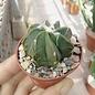 Astrophytum capricorne cv. Nudum
