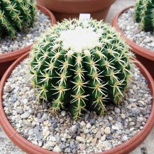 Echinocactus grusonii cv. crassibrevispinum