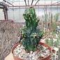 Cereus jamacaru  monstruosus
