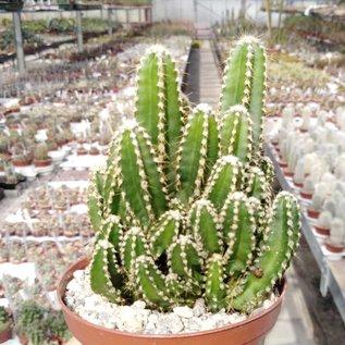 Cereus peruvianus cv. Florida  wird auch Fairy Castle genannt