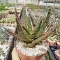 Aloe zebrina cv. Dannyz