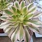 Aeonium arboreum cv. Tricolor