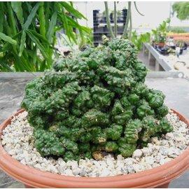 Euphorbia enopla     cristata