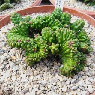 Euphorbia enopla cv. Emerald    cristata