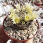 Mammillaria picta f. Aramberri L 1063 Aramberri, Nuevo Leon, MX, 900-1300 m