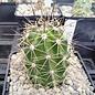 Echinocereus coccineus  SB 298 Sierra Co., New Mexico    (dw)
