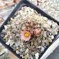 Pediocactus simpsonii-Hybr.       (dw)