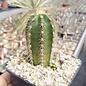 Echinocereus rischeri       (dw)