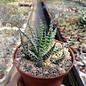 Aloe humilis x erinacea