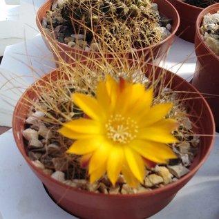 Sulcorebutia menesesii v. kamiensis HS 189a Khala -Sindro, Kami