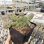 Opuntia rhodantha  cv. Dornenlos Richter     (dw)