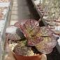 Adromischus trigynus cv. Largo