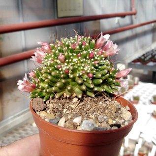 Mammillaria painteri  monstruosa