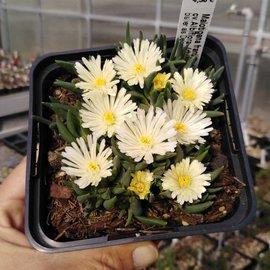 Malotigena frantiskae-niederlovae cv. Albiflora      (dw)