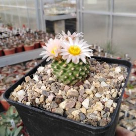 Pediocactus knowltonii      CITES, not outside EU (dw)