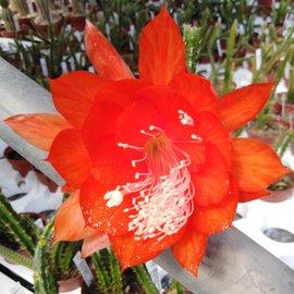 Aporophyllum-Hybr. Goldi Paetz