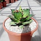 Agave titanota  cv. Red Catweezle XL