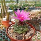 Turbinicarpus alonsoi      CITES, not outside EU