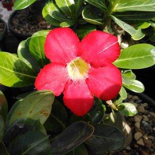 Adenium obesum cv. Deep Red   mit kulturbedingtem Rückschnitt