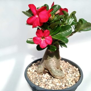 Adenium obesum  cv. Deep Red XL