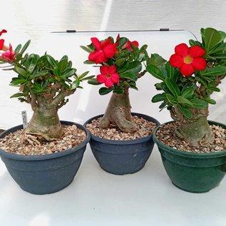 Adenium obesum cv. Deep Red XXL