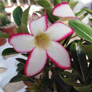 Adenium obesum cv. Picotee