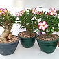 Adenium obesum cv. Picotee XXL