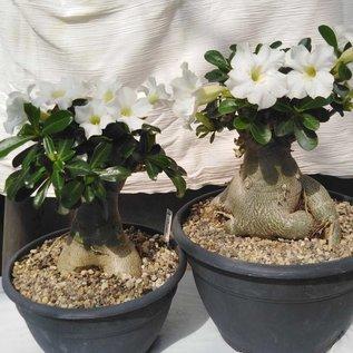 Adenium obesum cv. Pure White XL       mit kulturbedingtem Rückschnitt