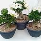 Adenium obesum cv. Pure White XXL      with culture-related cutback