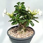 Adenium obesum cv. Pure White XL