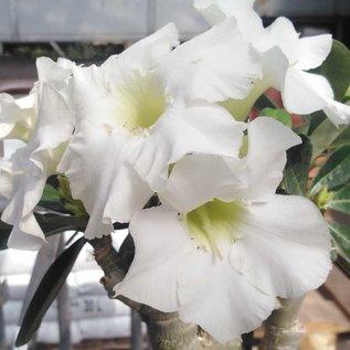 Adenium obesum cv. Pure White     mit kulturbedingtem Rückschnitt