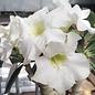 Adenium obesum cv. Pure White