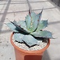 Agave titanota cv. White Ice XL