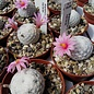 Mammillaria herrerae
