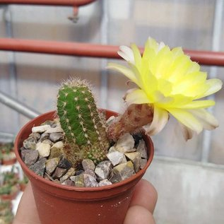 Chamaecereus silvestrii-Hybr.  `gelbe Blüte`
