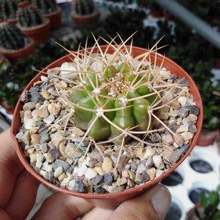 Discocactus cephaliaciculosus ssp. nudicephalus aff. MH 775 Paranâ, Tocantins, Goias, Brasilien, 270 m   CITES, not outside EU