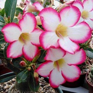 Adenium obesum cv. Picotee     with seasonal cutback