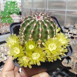 Echinocereus viridiflorus       (dw)