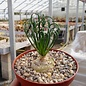 Albuca spiralis cv. Frizzle Sizzle
