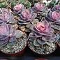 Echeveria Perle von Nürnberg cv. Rainbow