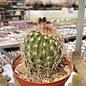 Echinocereus bristolii BW 219  Son. El Novillo