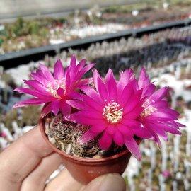 Sulcorebutia crispata  RV 313