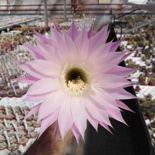 Echinopsis-Hybr. RE
