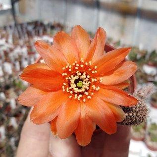 Chamaecereus silvestrii-Hybr. cv. scharlach Blüte