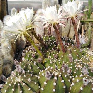 Echinopsis subdenudata  cv. Fuzzy Navel