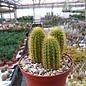 Hildewintera aureispina  WK 262 Cochabamba to Santa Cruz km 338, Quebrada Los Negros, Las Juntas, Santa Cruz, Bolivia
