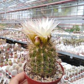 Neoporteria chilensis v. albidiflora WK 743 Pichidangui