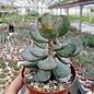 Adromischus caryophyllaceus cv. Grandiflorus